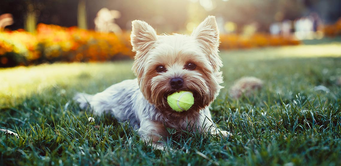 Yorkshire Terrier lying in grass with tennis ball in mouth.