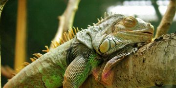 A lizard sleeping in its cage.