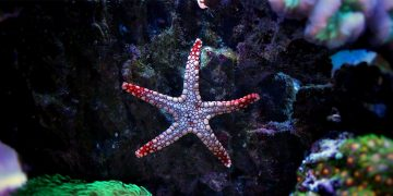 Starfish sticking to glass of aquarium