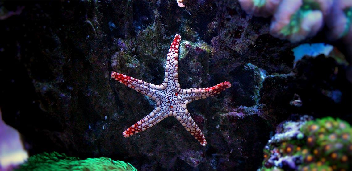 Starfish sticking to glass of aquarium
