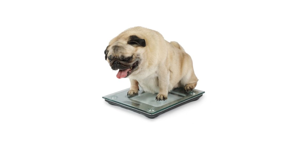 An obese dog being weighed on a scale.