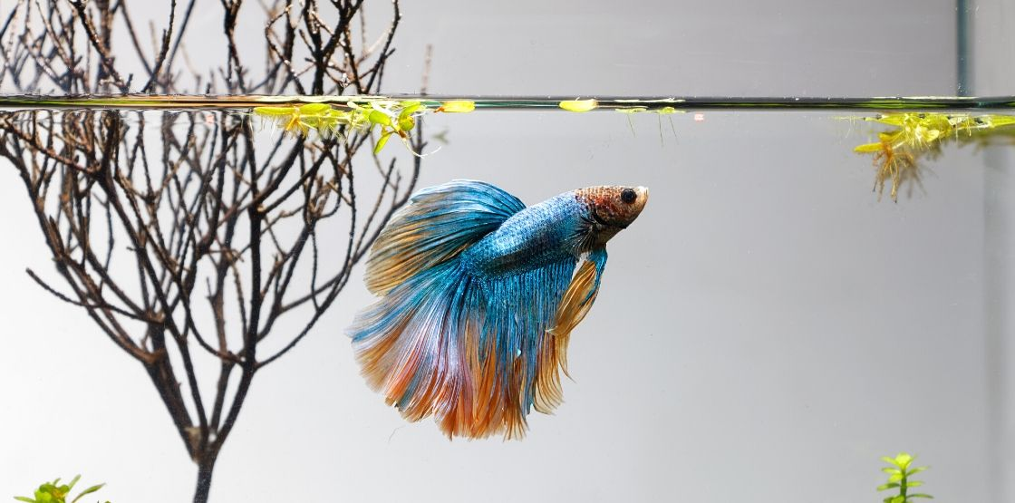 Betta fish are some of the easiest fish to take care of.