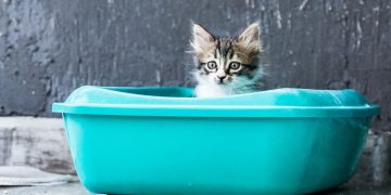A cat using a litter box.