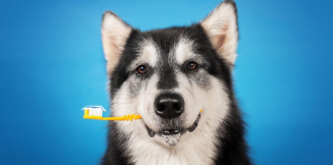 Brushing your dog's teeth is good for their overall health.