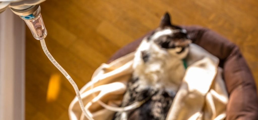 A cat being treated for feline kidney disease.