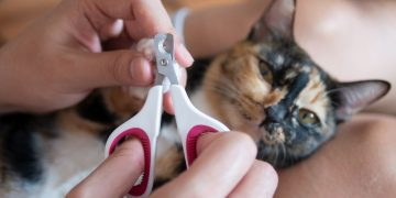 A cat getting their nails clipped.
