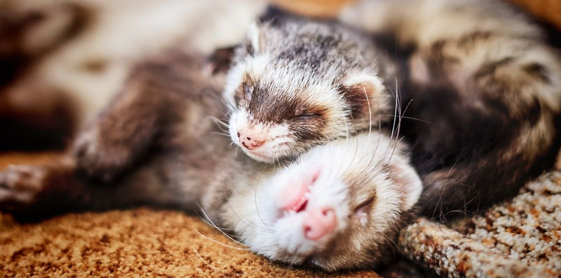 Two ferrets laying on eachother.