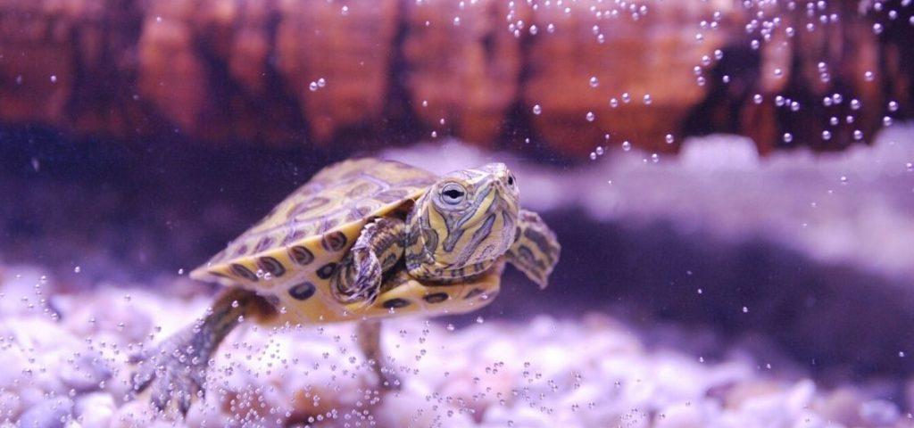 A turtle in an aquarium.
