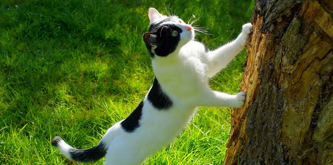 A black and white cat clawing at a tree.