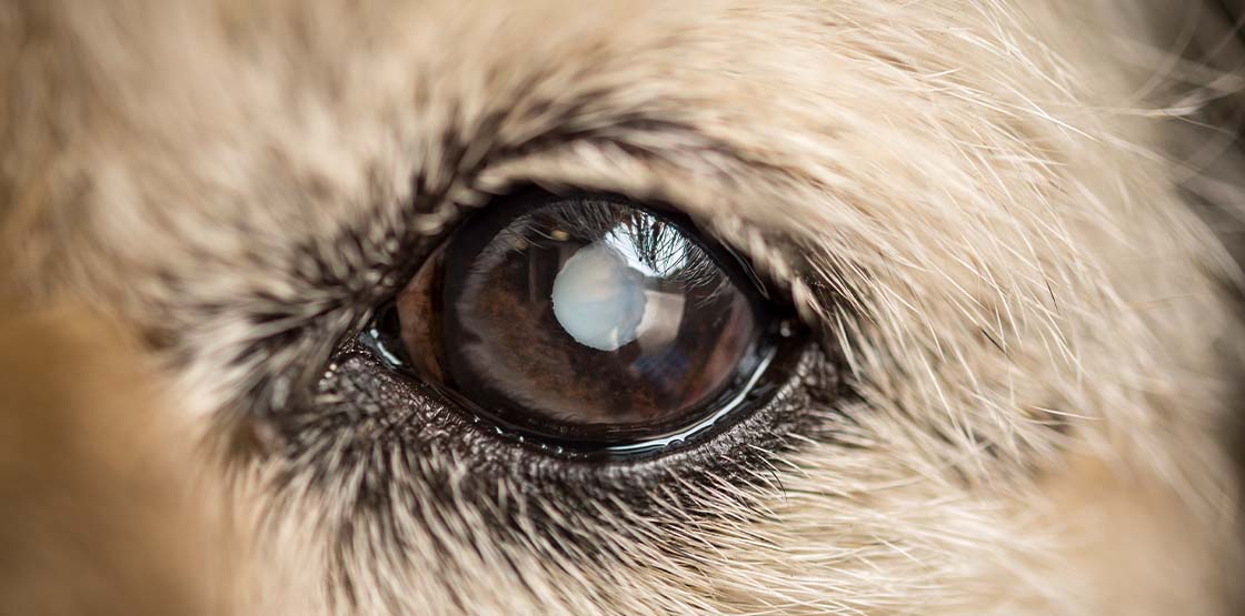 A dog with a cataract in their eye.