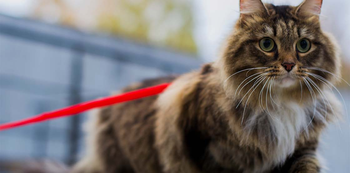 A cat walking on a red leash.
