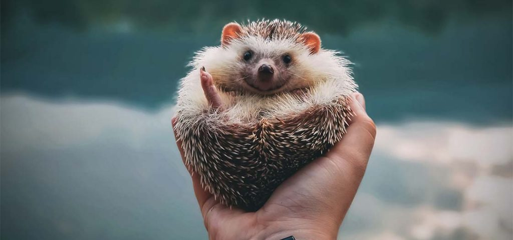 Someone holding a hedgehog in their hand.