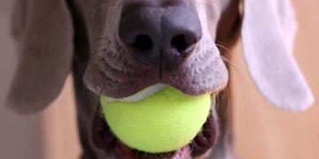 A dog holding a tennis ball in their mouth.