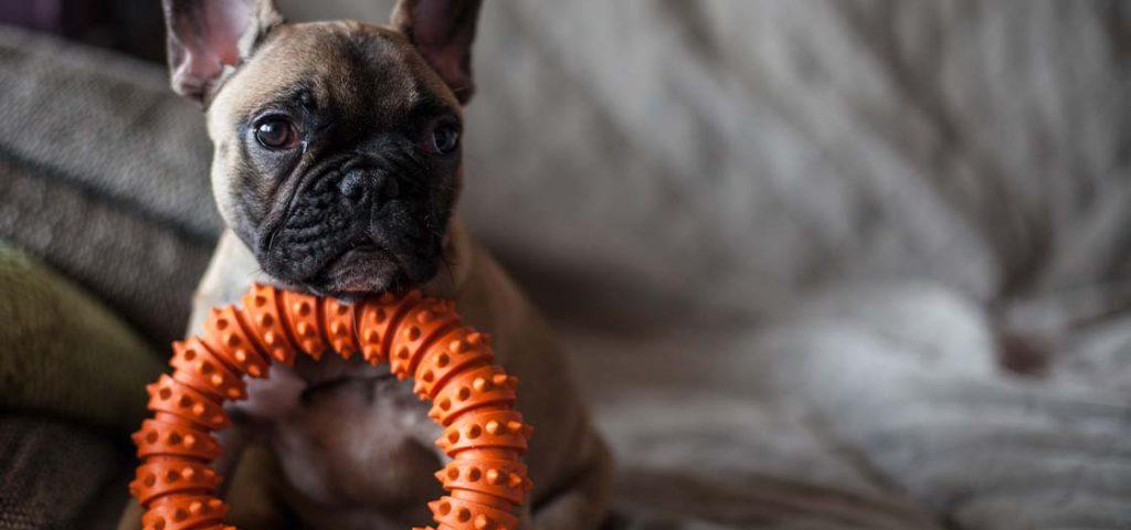 A French Bulldog sitting with an orange chew toy.