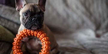 A French Bulldog sitting with an orange chew toy.