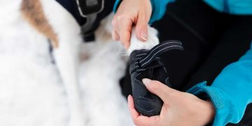 An owner putting a black dog boot on their dog's paw.