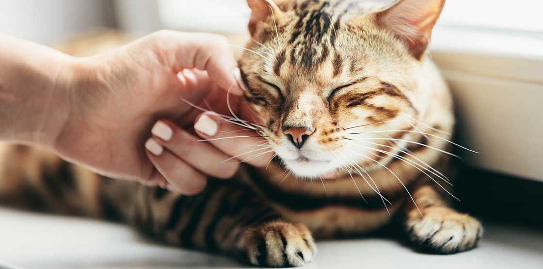 A cat getting his head scratched by a human hand