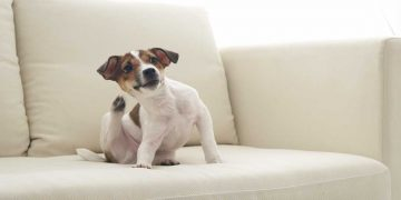 A puppy scratching itself on the couch